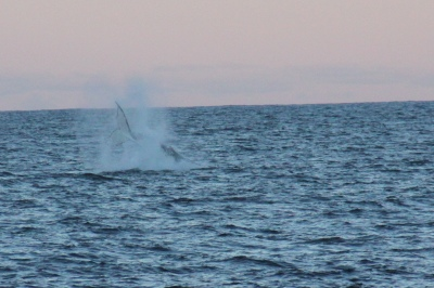 Whale sighting by Jan Welsh